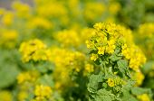 picture of rape-seed  - Rape blossoms - JPG
