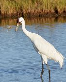 picture of blue crab  - Whooping Crane Watching a Blue Crab that it Flipped into the Air - JPG