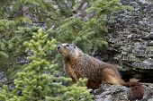 picture of marmot  - Yellow bellied marmot poses with pine trees and rocky ledges for background - JPG