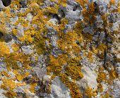 foto of lichenes  - Moss lichen on the rocks orange sandstone - JPG