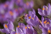 foto of violets  - Closeup view of bee to a flower violet crocus  - JPG