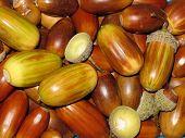 stock photo of glans  - Acorns - JPG
