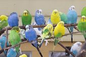 picture of parakeet  - Colorful parakeets standing in group on branch - JPG