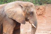 image of elephant ear  - An elephant head close up head ears - JPG