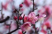 stock photo of kinky  - Beautiful plum flowers bloom in spring of Japan - JPG