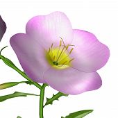pic of plant species  - Oenothera is a genus of about 145 species of herbaceous flowering plants native to the Americ - JPG