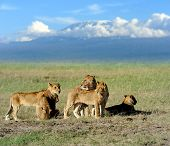 pic of kilimanjaro  - Lion on savanna landscape background and Mount Kilimanjaro - JPG