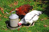stock photo of bantams  - Two free range Light Sussex Bantams drinking water from a tin container England UK.