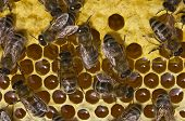 foto of larva  - Bees convert nectar into honey and close it in the honeycomb and care for the larvae - JPG