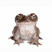 picture of amphibious  - The Colorado River or Sonoran Desert toad Incilius alvarius on white - JPG