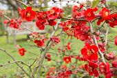 picture of dwarf  - Dwarf quince bush with red spring flowers in May Stockholm Sweden - JPG