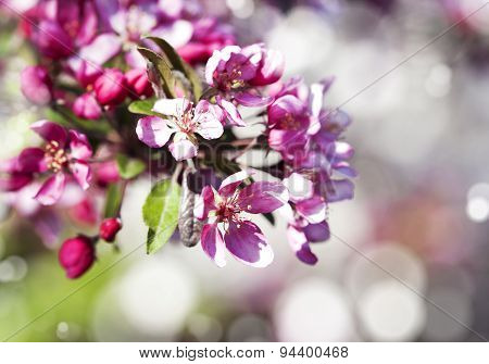 Spring Sakura Pink Flower On Abstract Nature Background. Selective Focus
