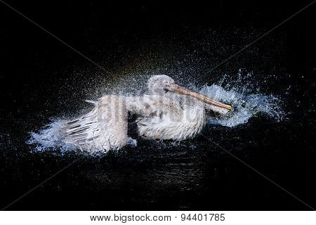 Pelican in dark sea