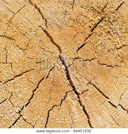Cracked pine-tree trunk in cross section