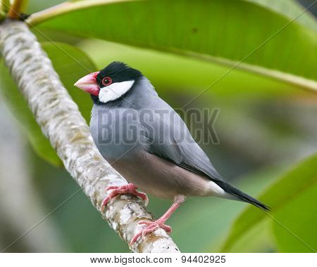 Java Sparrow on Plumeria Branch