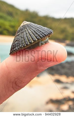 Limpet on Thumb