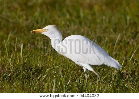 Cattle Egret Eating an Insect