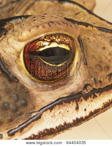 Eye of Toad