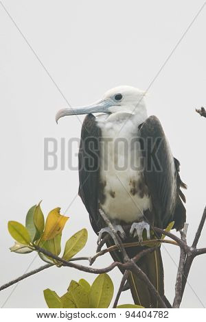 Juvenile Magnificent Frigatebird on Branch