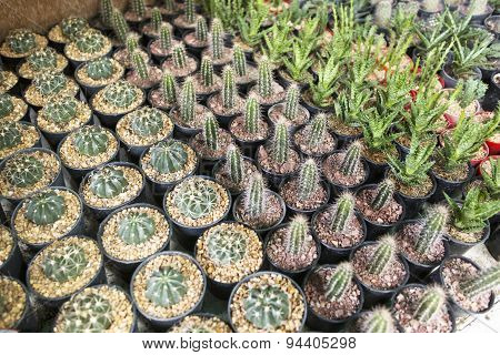 Cactus Collection In Small Flowerpots