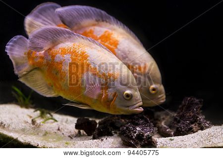 Colorful Tropical Fish In Aquarium