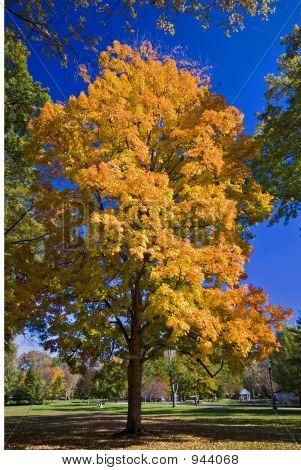 Glowing Autumn Maple