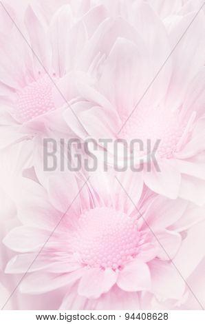 Spray Type of Chrysanthemum.