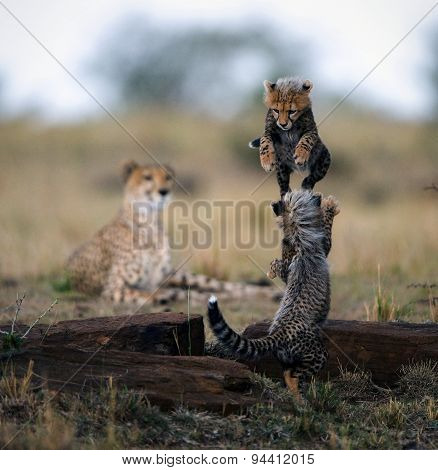 Small kittens of a cheetah play leapfrog