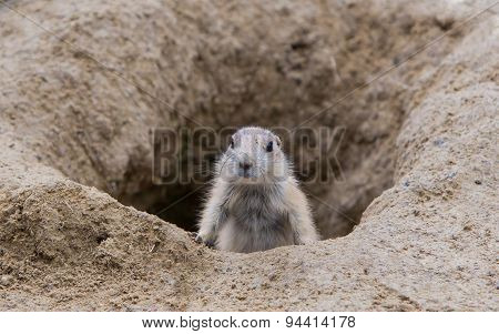 Prairie Dog Checking Out