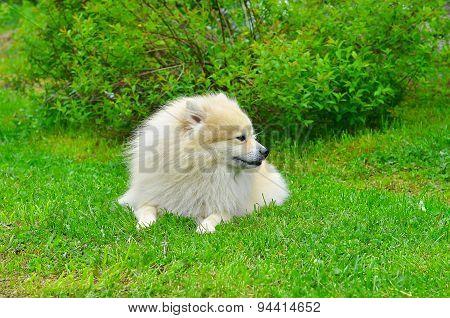 Dog German Spitz