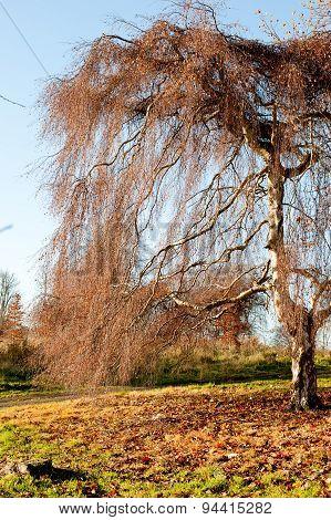 Willow Tree In The Autumn Season