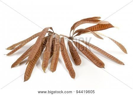 Twigs Containing Elongated Seed Pods Filled With Seeds