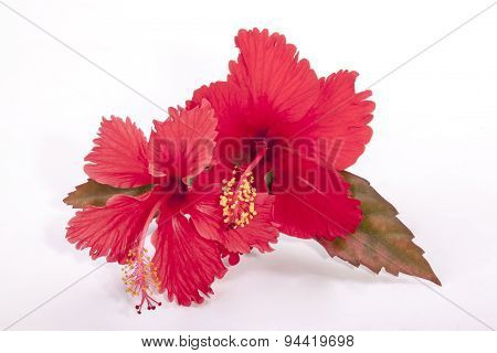 Two Red Hibiscus Flowers With Autumn Colored Leaves
