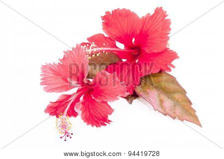 Autumn Colored Leaves With Two Red Hibiscus Flowers