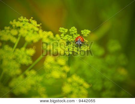 Ladybird On A Green Young Grass