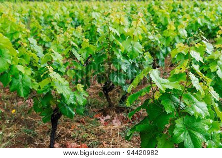 grape  plantation on Corfu