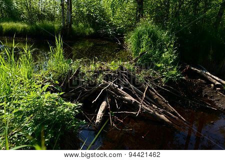 Forest River Blocked By Beaver Dams Forming Shoal
