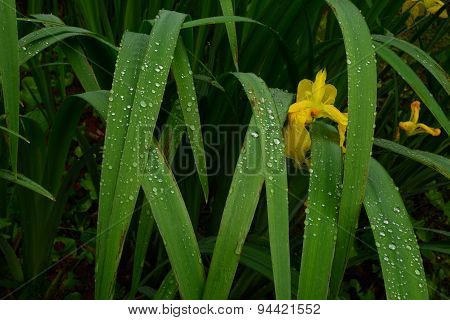 Flower Yellow Iris In Drops Of Water On The Leaves And Flowers After Rain
