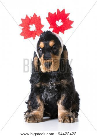 cute puppy - english cocker spaniel wearing headband with canadian flags on white background