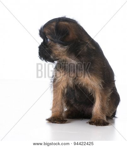 sad looking puppy sitting on white background - brussels griffon