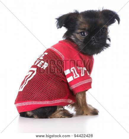 sports hound - brussels griffon wearing sports jersey isolated on white background