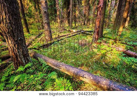Dead broken trees in summer forest