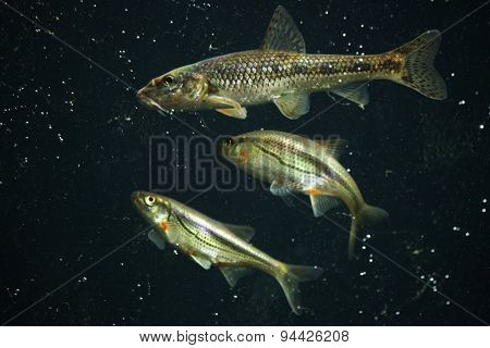 Gudgeon (Gobio gobio) and spirlin (Alburnoides bipunctatus). Wildlife animal.