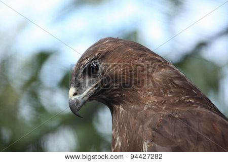 Eurasian buzzard (Buteo buteo), also known as the common buzzard. Wildlife animal.