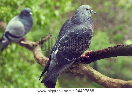 Beautiful Two Pigeons