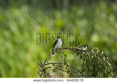 Eastern Kingbird And Bugs