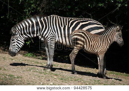 Grant's zebra (Equus quagga boehmi). Wildlife animal.