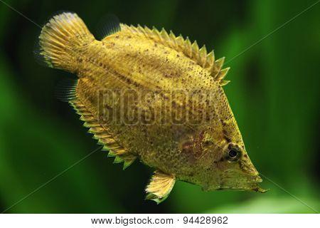 Amazon leaf fish (Monocirrhus polyacanthus). Wildlife animal.