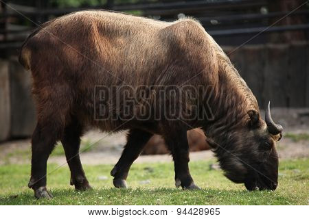 Takin (Budorcas taxicolor), also known as the gnu goat. Wildlife animal.
