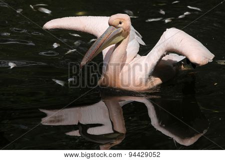 Great white pelican (Pelecanus onocrotalus), also known as the rosy pelican. Wildlife animal.